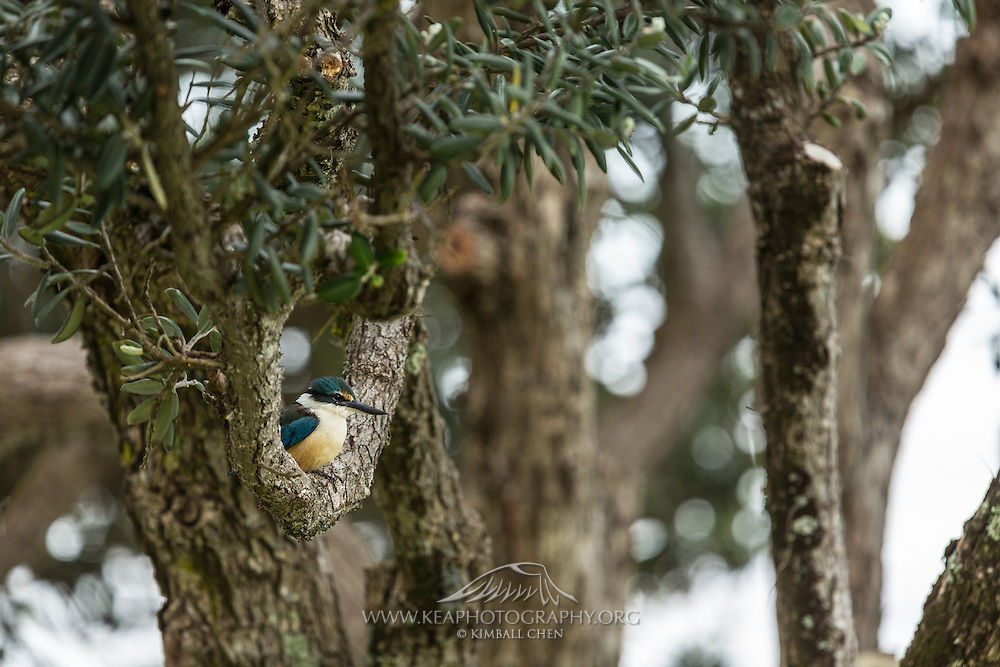 This Sacred Kingfisher perches comfortably on a tree branch shaped peculiarly like a swing, on Waiheke Island, New Zealand.