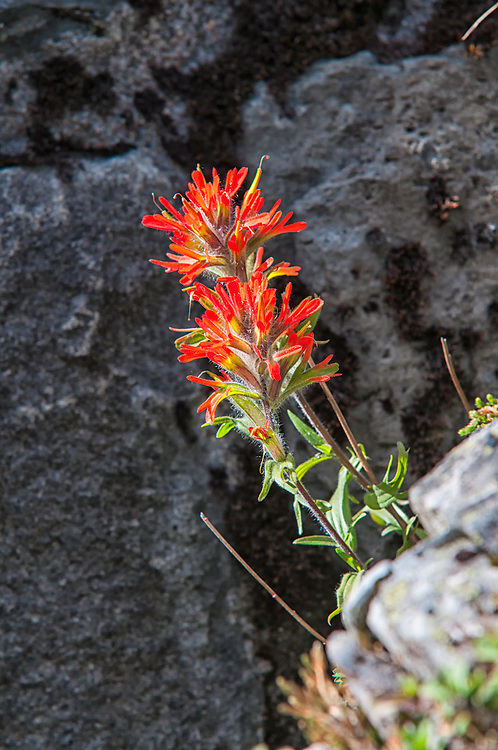One of the many beautiful Indian paintbrushes on the Pacific Northwest, this one was blooming at the very top of Larch Mountain just outside of Portland, Oregon.