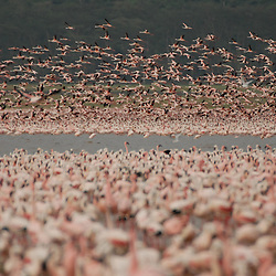 A huge colony of flamingos at the lake Nakuru in Kenya.