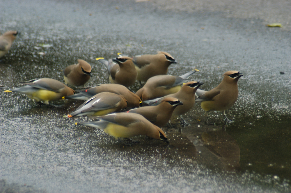 A group of Cedar Waxwing birds drink and eat from a puddle on a walkway
