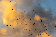 Hundreds of American crows (Corvus brachyrhynchos) in a large flock known as a murder fill the cloudy sky at sunset over Bothell, Washington. An estimated 16,000 crows roost in the area each night.