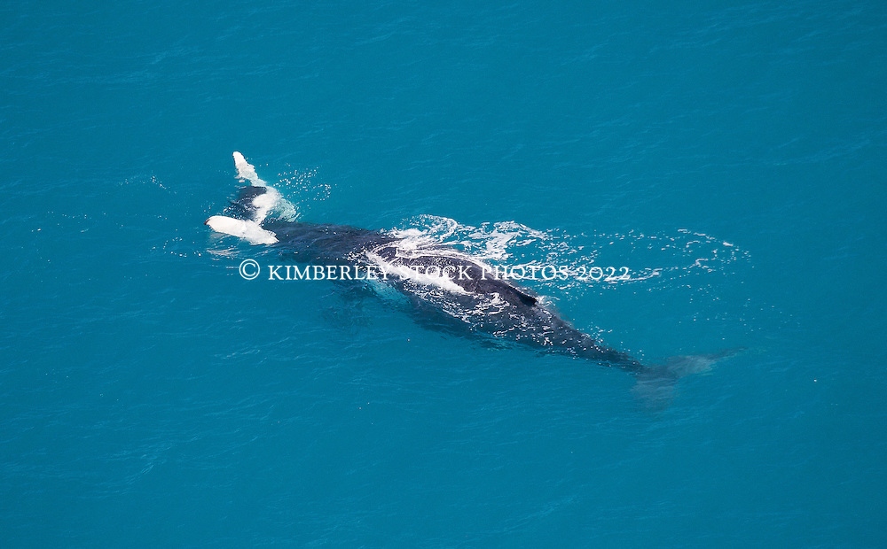 A humpback whale calf rests across its mother in the aqua waters off Willie Creek north of Broome.  The Kimberley is home to the world's largest humpback whale nursery.