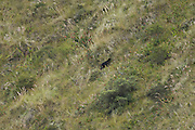 Ecuador, May 2 2010: A spectacled bear ascends a slope near Hacienda Zuleta...Copyright 2010 Peter Horrell