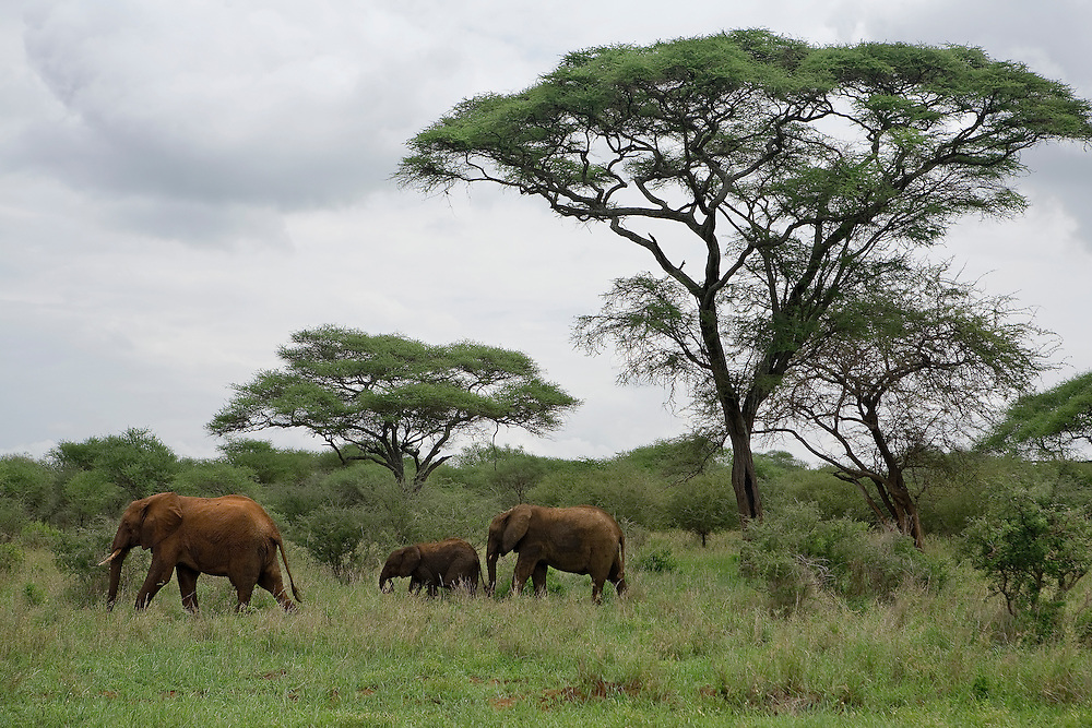 "(Loxodonta africana) Two young calves follow a female in the woodland savanna, the clouds and green vegetation signs of the beginning of the ""long rains"", one of Tanzania's two rainy seasons."