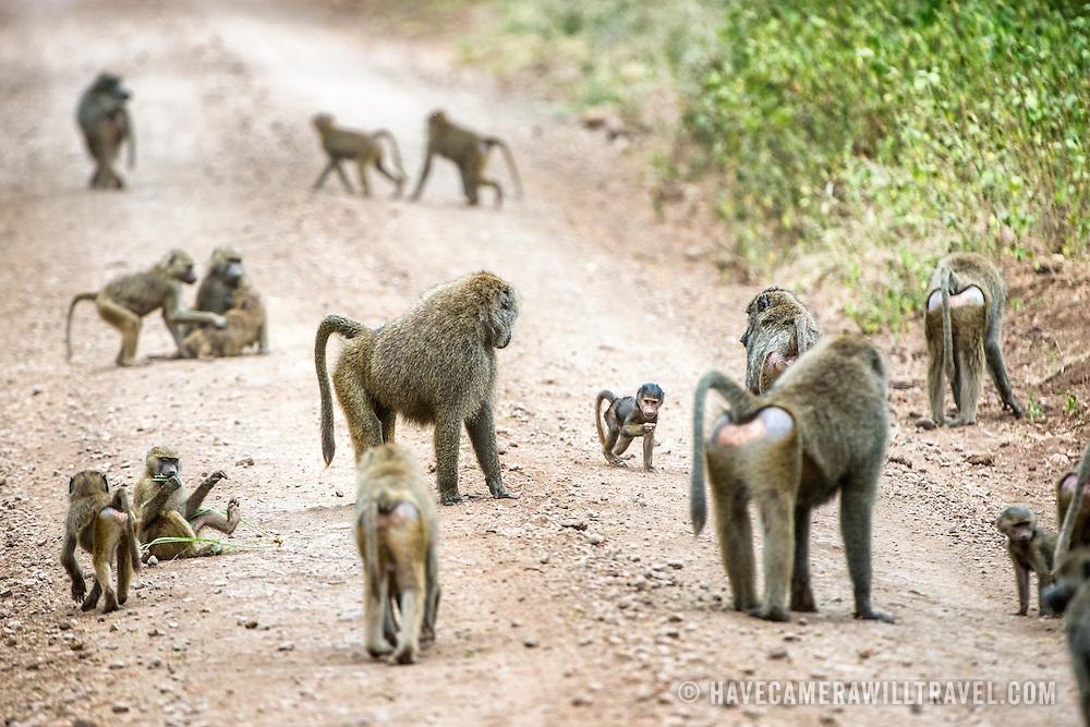A troops of baboons on a dirt road at Lake Manyara National Park in northern Tanzania.