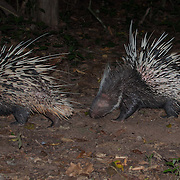 The Malayan porcupine or Himalayan porcupine (Hystrix brachyura) is a species of rodent in the family Hystricidae. Kaeng Krachan