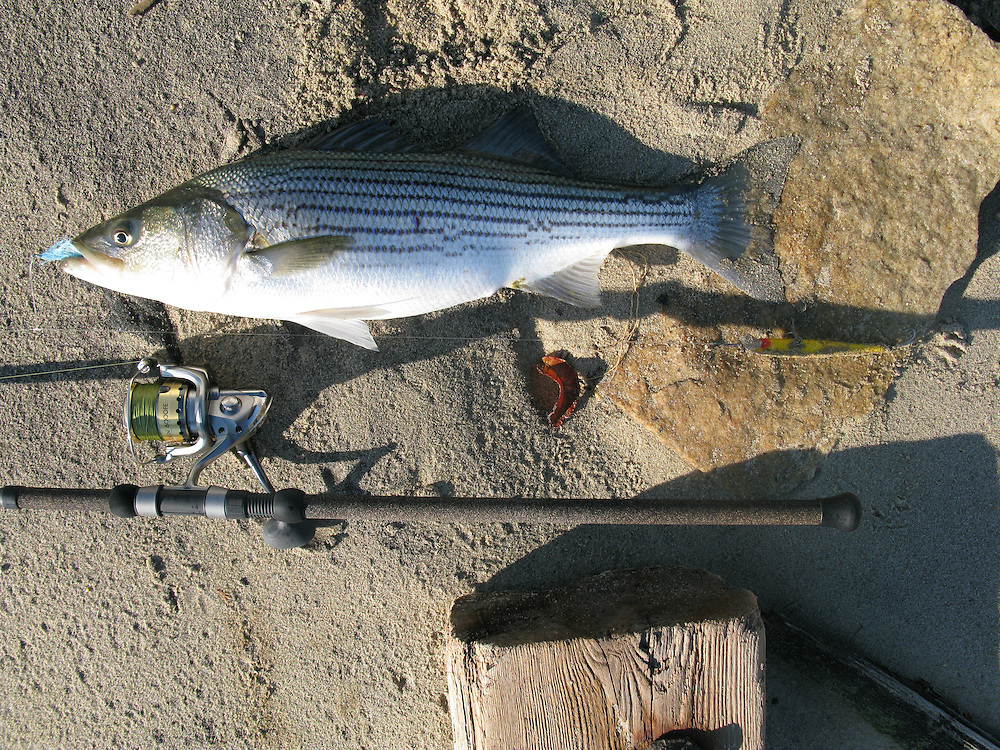 A striped bass taken from the surf of Sandy Hook Gateway National Park New Jersey.   This fish fell for a blue and white teaser ahead of a yellow and black 'schoolbus' bomber.