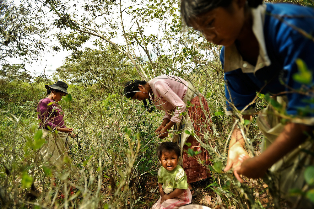 Meri Pintas, 30, (center) harvests coca leaves with her children in the Yungas region of Bolivia.