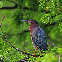 South Florida bird photography from nature photographer Juergen Roth showing a Green Heron at Wakodahatchee Wetlands in Boynton Beach, FL. Wakodahatchee Wetlands and Green Cay are amazing places on earth for wildlife viewing and photography in Florida. Upon arrival, I was greeted by plenty of nesting everglades storks and while making my rounds on the boardwalk I encountered this green heron. <br />