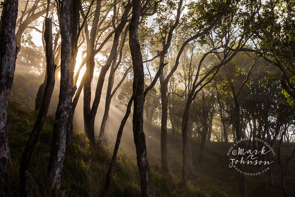 Sunbeams through a misty forest, Koke'e, Kauai, Hawaii