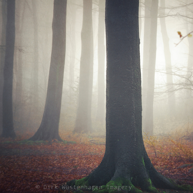 Beech tree forest on a rainy and foggy day with wet trunk in foreground.<br />
