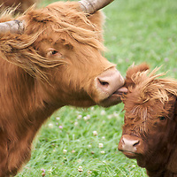 Heartland - Highland Cattle