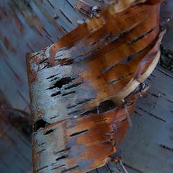 Birch Bark Detail, Castine, Maine, US