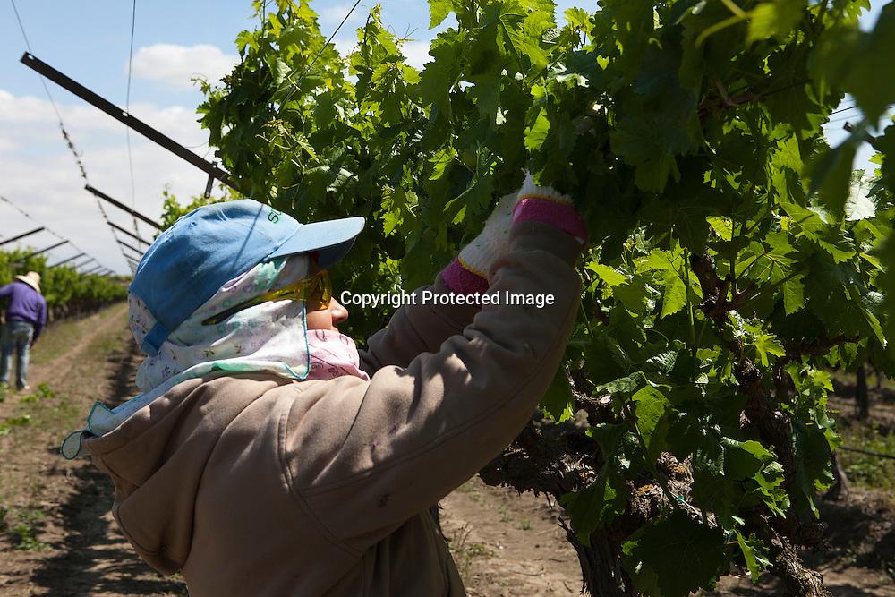 Worker trimming grape vines near Delano, California