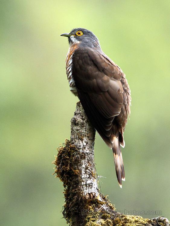 Large Hawk-Cuckoo, Hierococcyx sparverioides, Bhutan, by Markus Lilje