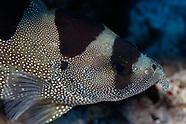 Pogonoperca punctata (Spotted Soapfish)