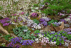 Ashwood Nurseries hepaticas stand in the Great Pavillion at the Chelsea Flower Show 2016. Designed by John Massey