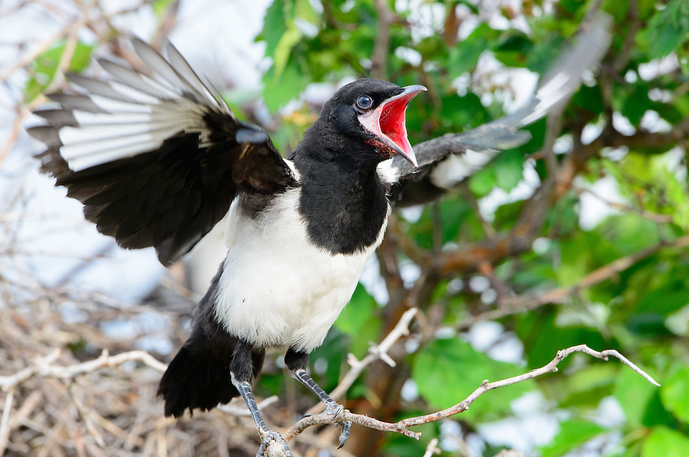 A black-billed magpie fledgling (Pica hudsonia) cries out for food towards a nearby parent, Western Montana