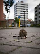 De enschedes wijken de laares en de bothoven hebben sinds kort overlast van ratten.
