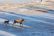Cow moose (Alces alces) and calf ford Teklanika River in Denali National Park in Southcentral Alaska. Summer. Morning.