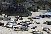 Harbor Seal<br /> Phoca vitulina<br /> Rookery on protected beach<br /> Monterey Bay, CA