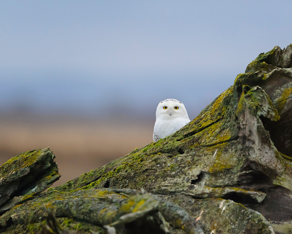 Snowy Owl, Pacific Northwest Coast