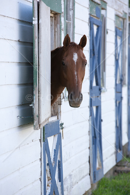 horse looking out a barn door