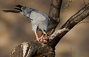 Eastern Chanting Goshawk , Melierax poliopterus, feeding on a squirrel in Samburu NP, Kenya.