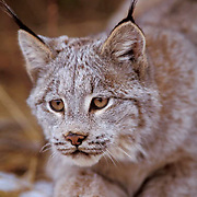 Canada Lynx, (Lynx canadensis) Montana. Portrait.  Captive Animal.