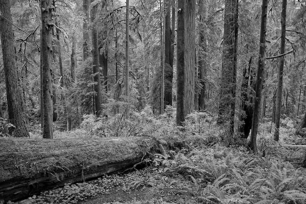 Redwood Grove - Hwy 199 - Redwood National Forest - Northern CA - Infrared Black & White