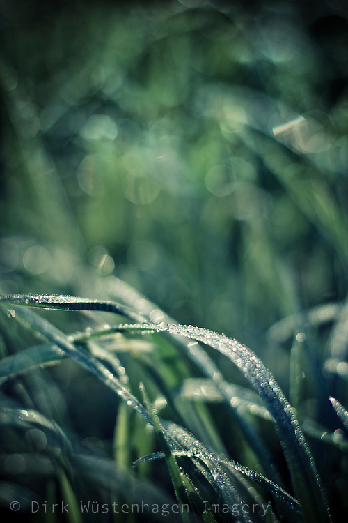 Close-up of some wet blades of grass in morning light.