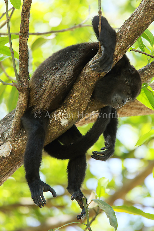 Female mantled howler monkey (Alouatta palliata) sleeping. Tropical dry forest. Palo Verde National Park, Guanacaste, Costa Rica.