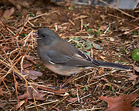 Dark-eyed Slate-colored Junco. Late Autumn Backyard Nature in New Jersey. Image taken with a Fuji X-T2 camera and 100-400 mm OIS lens (ISO 200, 400 mm, f/5.6, 1/60 sec)