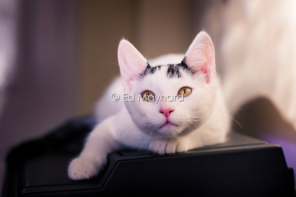 Rescued stray feral kitten relaxing in their adopted home, England, United Kingdom.