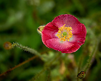Red poppy flower after the rain. Backyard summer nature in New Jersey. Image taken with a Leica T camera and 55-135 mm lens (ISO 100, 135 mm, f/5.6, 1/100 sec).