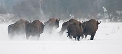Vluchtenden kudde Wisenten in de sneeuw op open vlakte; Running European Bison in snow
