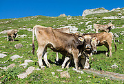 Cattle in Meglisalp on the trail to Rotsteinpass, in the Alpstein limestone mountain range, Appenzell Alps, Switzerland, Europe. Appenzell Innerrhoden is Switzerland's most traditional and smallest-population canton (second smallest by area).