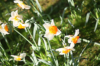Daffodil flowers growing in spring