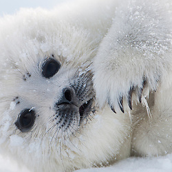 Infant seal pups cannot withstand long periods of time in the freezing water and must wait for their mothers on the ice.