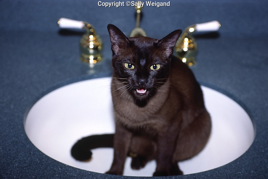 Tonkinese cat sitting in bathroom sink meowing; mouth open; brown; black points; animal; pet
