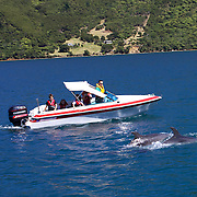 Dolphins in playful mood in front of a pleasure boat with children in Queen Charlotte Sound, South Island, New Zealand..The dolphins are viewed by tourists on a 'swimming with Dolphins' trip with Dolphin Watch Eco Tours, run out of Picton, South Island, New Zealand. 27th January 2011. Photo Tim Clayton..