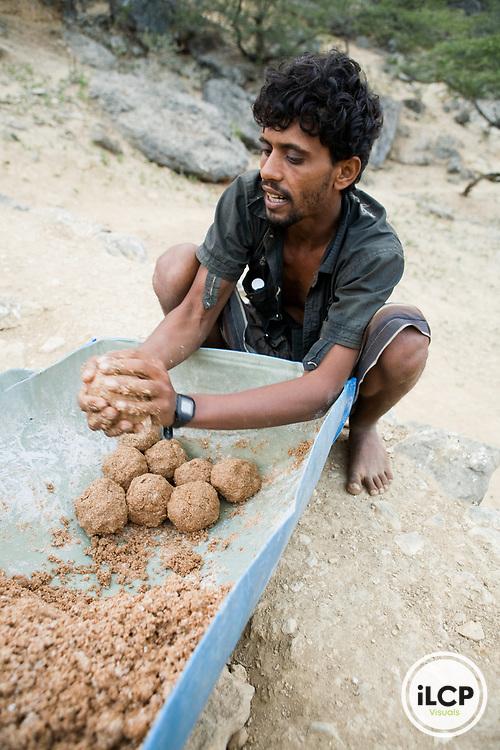 Indian Oil Sardine (Sardinella longiceps) dried, made into balls to be fed to Dromedaries (Camelus dromedarius), Hawf Protected Area, Yemen