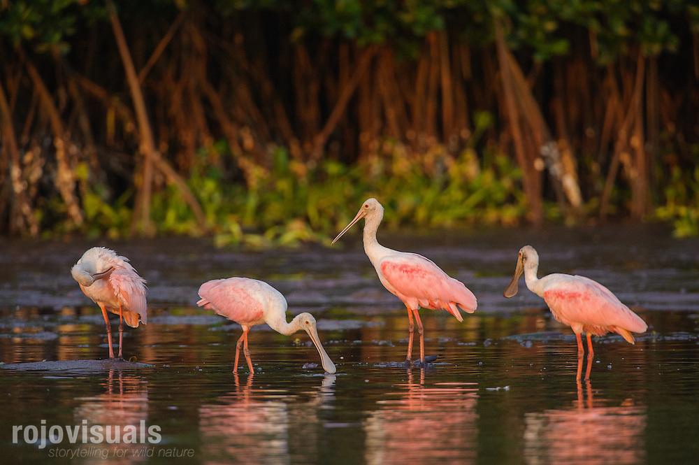 Esp&aacute;tulas rosadas (Platalea ajaja). Las esp&aacute;tulas, al igual que los flamencos, obtienen su coloraci&oacute;n rosada de los su alimentaci&oacute;n. Para ello, vadean aguas someras removiendo el fango con sus picos en forma de cuchara, donde capturan moluscos, peces y crust&aacute;ceos.<br /> Reserva de la Biosfera Marismas Nacionales Nayarit<br /> Nayarit, M&eacute;xico