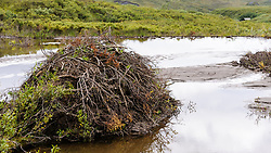 This beaver lodge, located near the Thorofare ranger cabin (upper right) in Denali National Park and Preserve in Alaska, is built in a pond that was created by a beaver dam. A beaver lodge (home) is made from cut branches and mud and has underwater entrances making it hard for predators to enter.