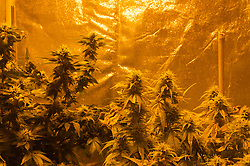 Oct 4, 2016 - Eugene, Oregon, U.S. - An indoor grow tent with near ripe pot plants under a grow light in a residential closet. California is set to vote on Proposition 64, a referendum on California's November ballot that would legalize cultivation, sale and recreational use of marijuana. (Credit Image: © Shalan Stewart/ZUMA Wire/ZUMAPRESS.com)