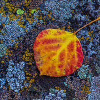 Aspen leaf. Grand Teton National Park, Wyoming.