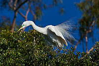Great Egret (Ardea alba) in breeding plumage perched in a tree at edge of Lake Chapala, Jocotopec, Jalisco, Mexico
