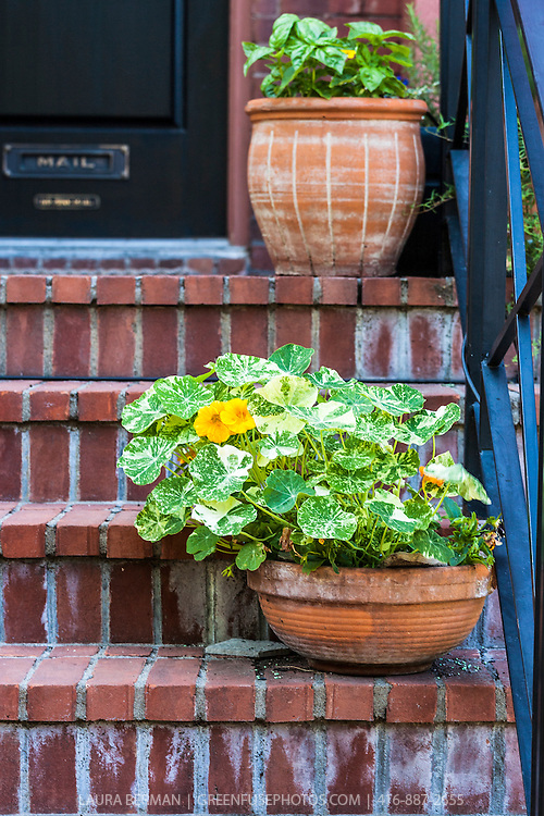 Edible nasturtium flowers and basil plants growing in terra cotta pots on the brick front steps of an urban house.