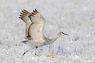 Sandhill crane raises wings and starts to run, gathering speed for liftoff from a field covered in frosted grass and light snow, middle Rio Grande Valley, NM. © 2011 David A. Ponton