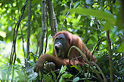 Sumatran Orangutan<br /> Pongo abelii<br /> Adult female in day nest<br /> North Sumatra, Indonesia<br /> *Critically Endangered